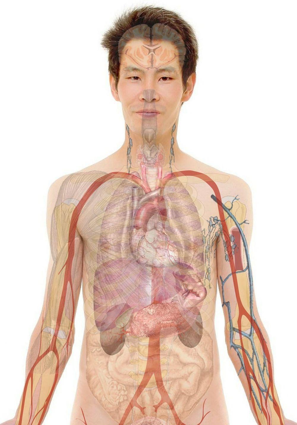 Científicos descubren nuevo organo humano
