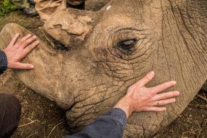 Sudán: El último rinoceronte blanco macho ha muerto
