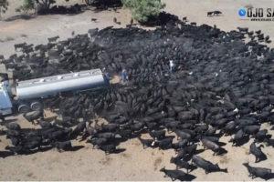 Impactante: Vacas persiguen un camión de agua en plena sequía